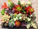 多肉植物 セダム 寄せ植え カット苗  輸入苗含む 21種 スノージェイド 南十字星 バーナティ ニクサーナ ペンデンス