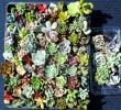 多肉植物 カット苗、根付き苗 93種 寄せ植えや収集に エケベリア、 カランコエ、 グラプトベリア、 クラッスラなど多数