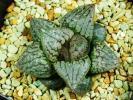 多肉植物 ハオルチア ベクター