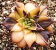 多肉植物 エケベリア ブラックプリンス 錦 斑入り