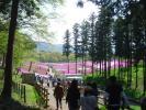 25枚の芝桜の写真です。秩父の羊山公園で咲いています。良かったとおもったら是非行ってください。Tポイントの消化にも