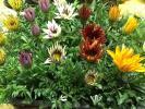 pressed flower making . popular * well ..ga The nia seedling 20 stock *