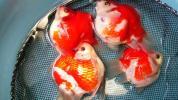 越後玉サバ稚魚 選別済50匹 №3