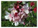 【山野草・低木】チシマザクラ(千島桜)・2ポット