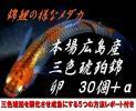 広島産 三色 琥珀錦 卵30個 めだか 改良 メダカ 安芸 最高級