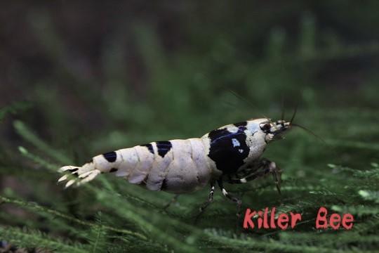 ★Killer Bee★殻厚!黒ビーオススメ抱卵個体 !!_画像3