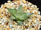 多肉植物 ハオルチア ルプラ 星の王子
