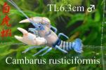 ★☆☆白虎蝦☆究極の極上美個体☆ザリガニの王様Cambaru