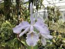 洋蘭原種カトレアC maxima f.coerulea 'Hector X Gigi' 開花中