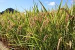送料無料!!H28年山形県産1等米あきたこまち玄米30kg★JGAP農場