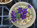 種子 ラペイロージア オレオゲナ 10粒 2017年4月採種 南ア球根 アヤメ科