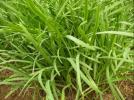 おまけあり★自家栽培 無農薬 健康野菜 韮 にら苗★50株★