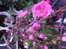 ハナモモ 照手桃(ピンク) 花芽多々 3年生 接ぎ木