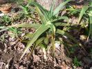 耐寒性アロエ ストリアツラ サボテン 多肉 山野草