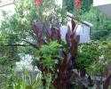 ◆カンナ『オーストラリア』◆苗◆庭の主役に◆