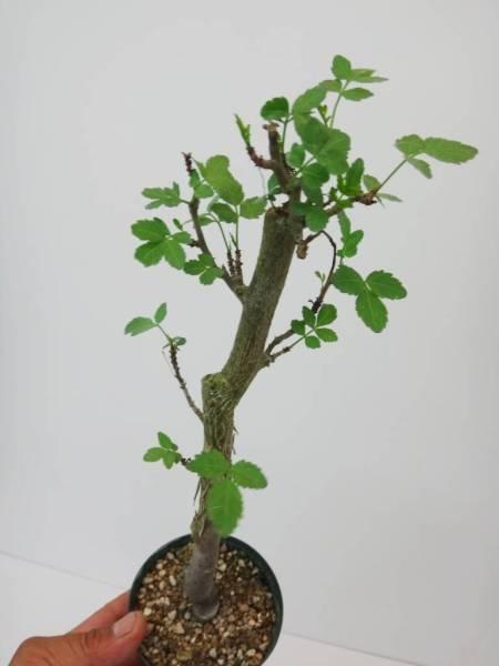 東京797ブルセラ ファガロイデス 香りが最高の香木 メキシカンフランキンセンシス