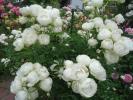 切り花品種の 清楚なスプレイウィット 2年苗