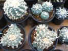 サボテン多肉植物(種子) 烏羽玉