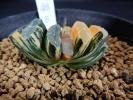 多肉植物 ☆ハオルチア 玉扇錦B