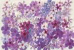押花素材:芝桜 ③