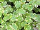 ★お花処★可愛い小さな葉♪斑入りチドメグサ*クリスタルコンフェッティ *横に広がります*見元園芸生産品