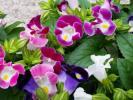 ★お花処★涼しげに咲く♪トレニア5色セット*夏スミレ