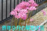 ■ピンクのヒガンバナ/リコリス・ジャクソニアーナの球根/5球