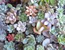 ☆多肉植物カット苗・エケベリアほか64種・リースや寄せ植え等に〜♪♪