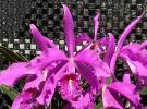 ◆◇ 洋蘭 原種 カトレア maxima 'Nervadurar' BM/JOGA (OG) 自然個体