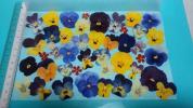 押し花 素材 材料◇ ビオラ すみれ 紫 黄