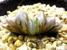 多肉植物 ハオルチア オブツーサ錦 いくら錦 極上 ラスト