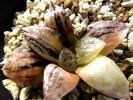 多肉植物 ハオルチア ベクター錦 (ガラスコンプト錦) 極上斑