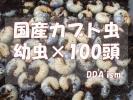 ラスト!【DDA】国産カブトムシ3令幼虫×100頭+10頭以上