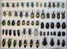 虫 標本  宝石虫
