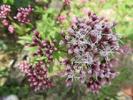 宿根草 秋花 フジバカマ アサキマダラを呼ぶ花 秋の七草