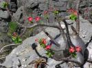 Pachypodium windsorii パキポディウム ウィンゾリー 種子 種子×35粒
