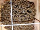 日本蜜蜂 入居した 巣箱 蜜蜂 みつばち キンリョゥヘン・