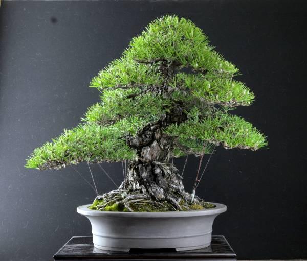 激古極太 三河黒松 樹高53cm 樹齢80年