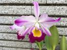 洋蘭原種 カトレア C walisii flamea 未開花