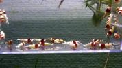 【E-BODY】Red Bee Shrimps リセット祭!赤脚殻厚個体30匹(プラケース内)。