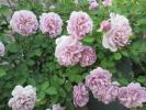 大きな苗◆レイニーブルー つぼみ付 爽やかなブルーローズ房咲でボリューム◎!