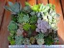 ■■多肉植物カット苗寄せ植えに■オリビア、パープルデュライト、など■■