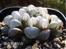 【多肉植物】ハオルチア '紫オブツーサ'