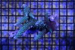 【一魚一会】1円スタート!! ワイルドミドリイシ №11 スギ系 グリーンブルー個体