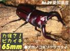 No.29 愛知県産天然採取水牛ノコギリクワガタ♂65.63.63mmなど♀35.31.31mm など特大 3ペア 全11匹セット