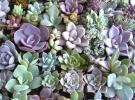 ☆多肉植物カット苗・エケベリアほか65種・リースや寄せ植え、