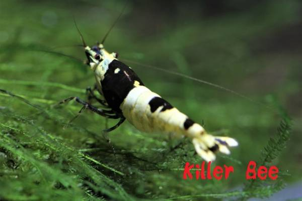★Killer Bee★黒ビーを盛り上げよう!殻厚・黒脚 ♀個体 !!_画像3