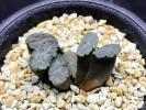 多肉植物 ハオルチア 万象 紫万象