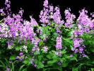ハナダイコン(花ダイコン、花大根、紫花菜)の種 大量(推定=2千粒超)