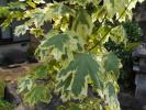 super rare noruwe-kaete!dolamonti-!. entering leaf Ryuutsu . exceedingly little valuable kind . large stock